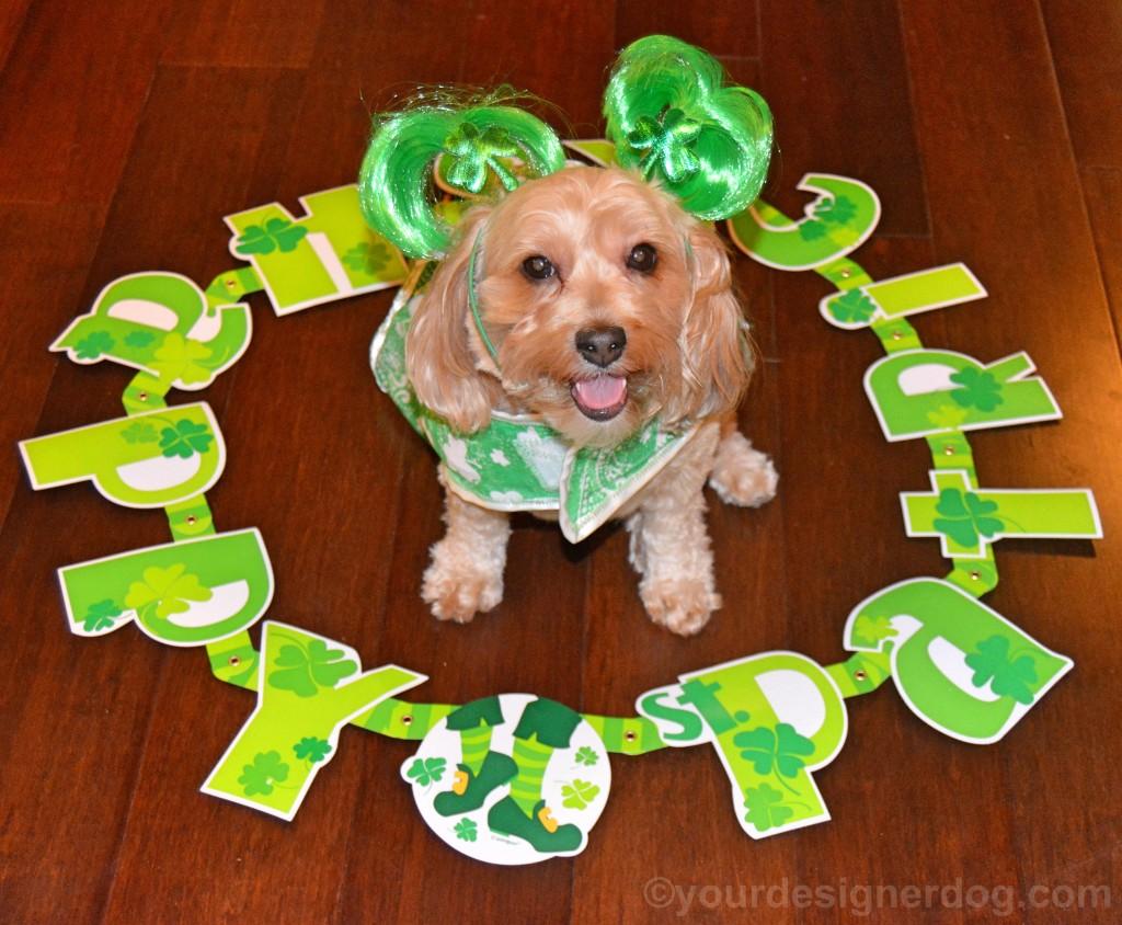 dogs, designer dogs, yorkipoo, yorkie poo, st patrick's day, irish