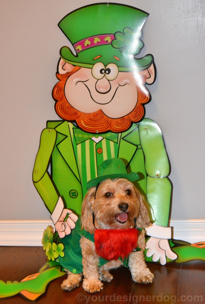dogs, designer dogs, yorkipoo, yorkie poo, leprechaun, Irish, st patrick's day, dog costume