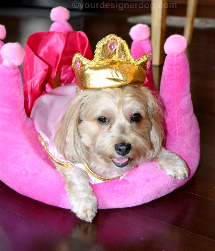 dogs, designer dogs, yorkipoo, yorkie poo, queen, royalty, dog costume, crown, dog bed