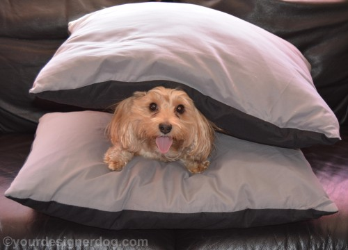 dogs, designer dogs, yorkipoo, yorkie poo, pillows, sandwich, tongue out