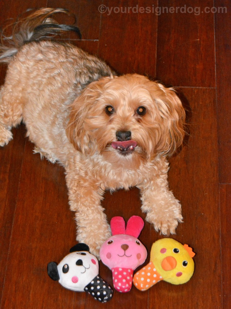 dogs, designer dogs, yorkipoo, yorkie poo, dog toys, tongue out, stuffed squeaky toys