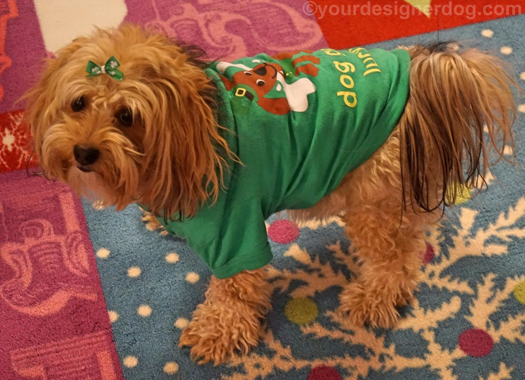 dogs, designer dogs, yorkipoo, yorkie poo, green, St patrick's day