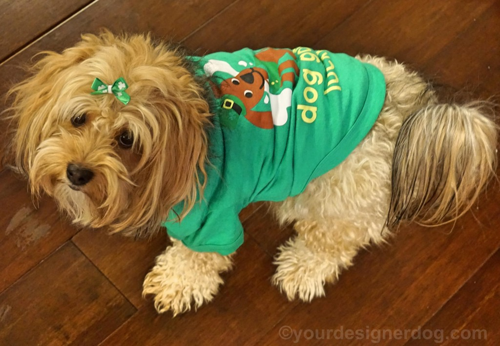 dogs, designer dogs, yorkipoo, yorkie poo, green, St patrick's day