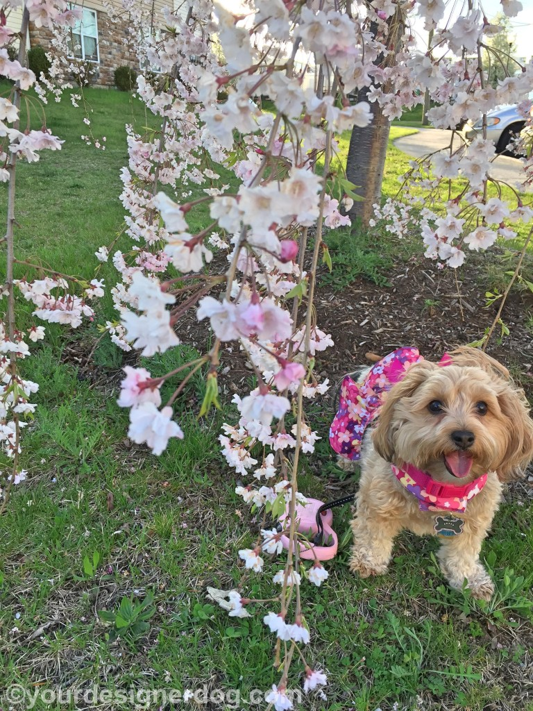 dogs, designer dogs, yorkipoo, yorkie poo, tongue out, dogs with flowers, cherry blossoms