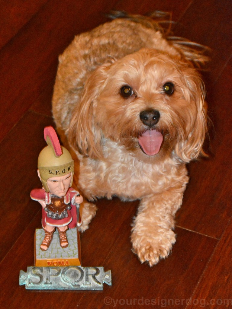 dogs, designer dogs, yorkipoo, yorkie poo, tongue out, ides of march, caesar, roman