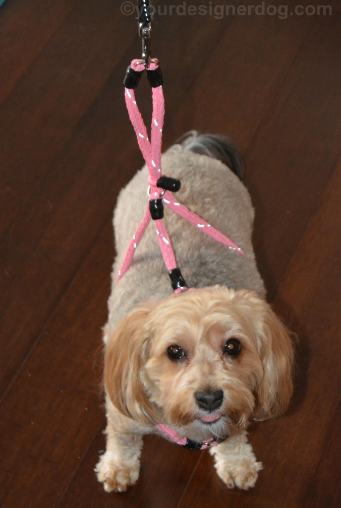 dogs, designer dogs, yorkipoo, yorkie poo, dog harness, Xtreme Pet Products, no-pull harness