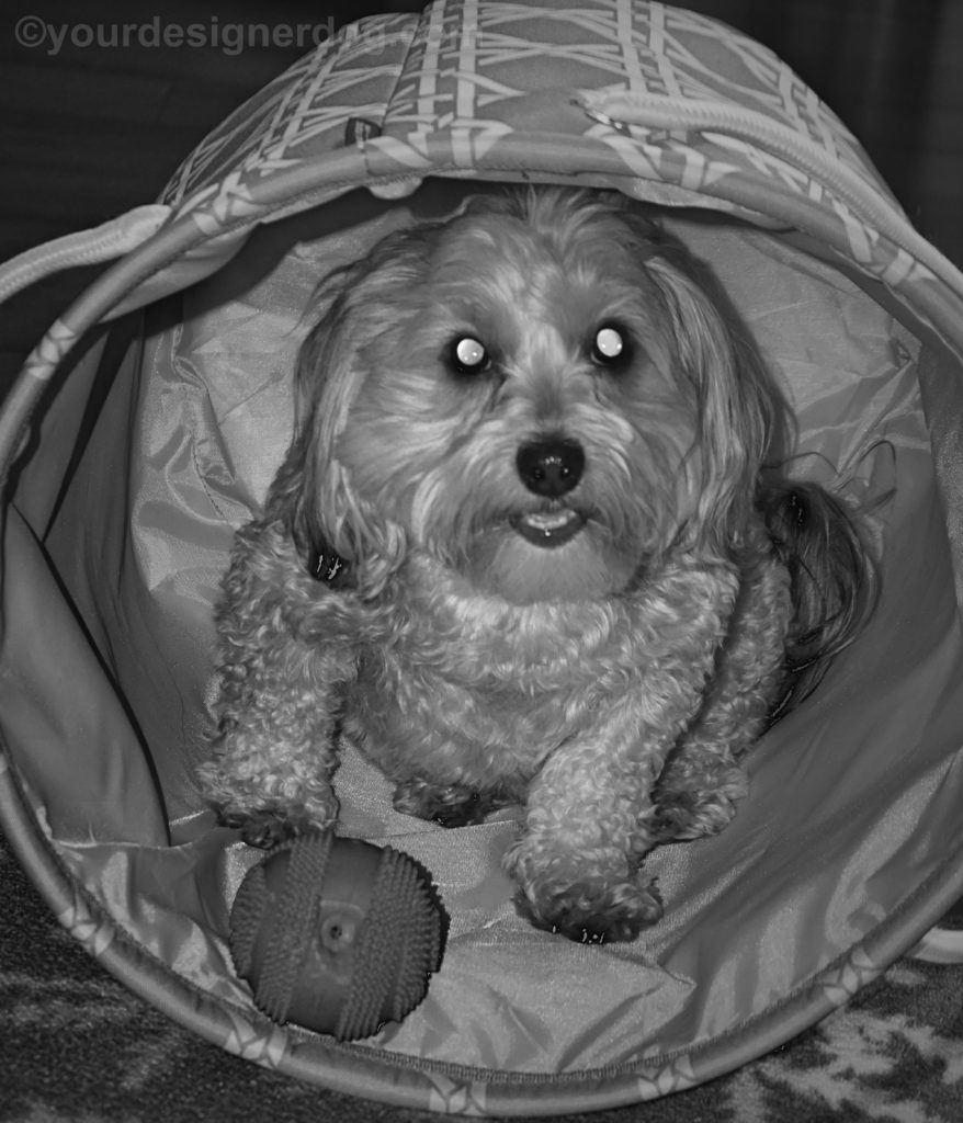 dogs, designer dogs, Yorkipoo, yorkie poo, black and white photography, basket, dog toy ball, dog smiling