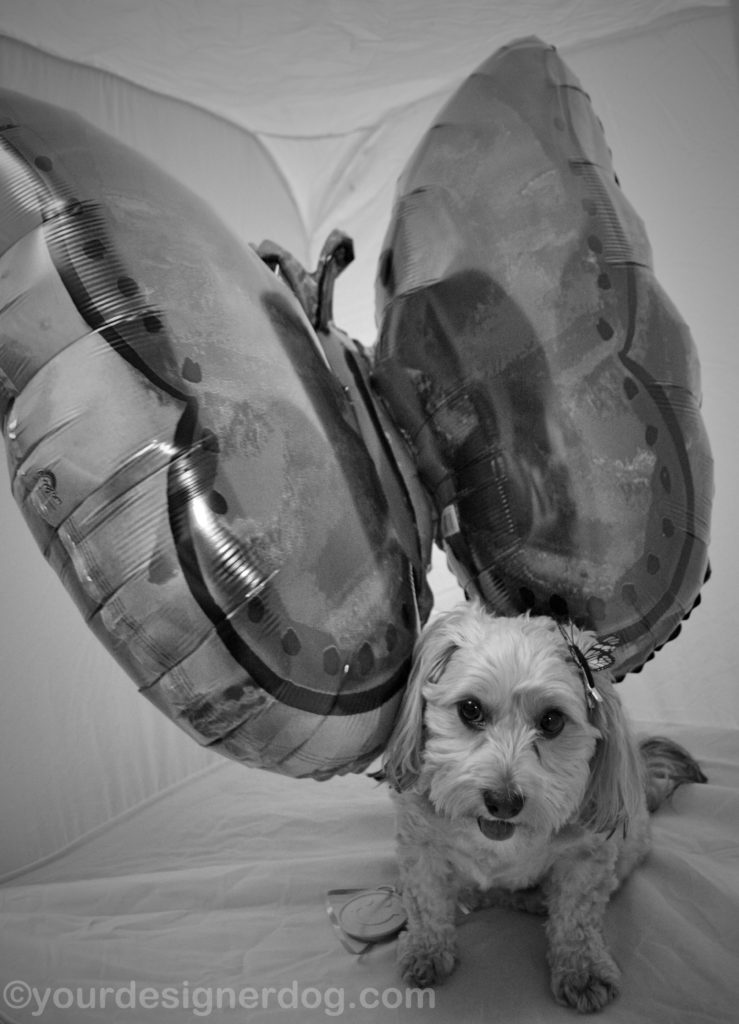 dogs, designer dogs, Yorkipoo, yorkie poo, black and white photography, butterfly