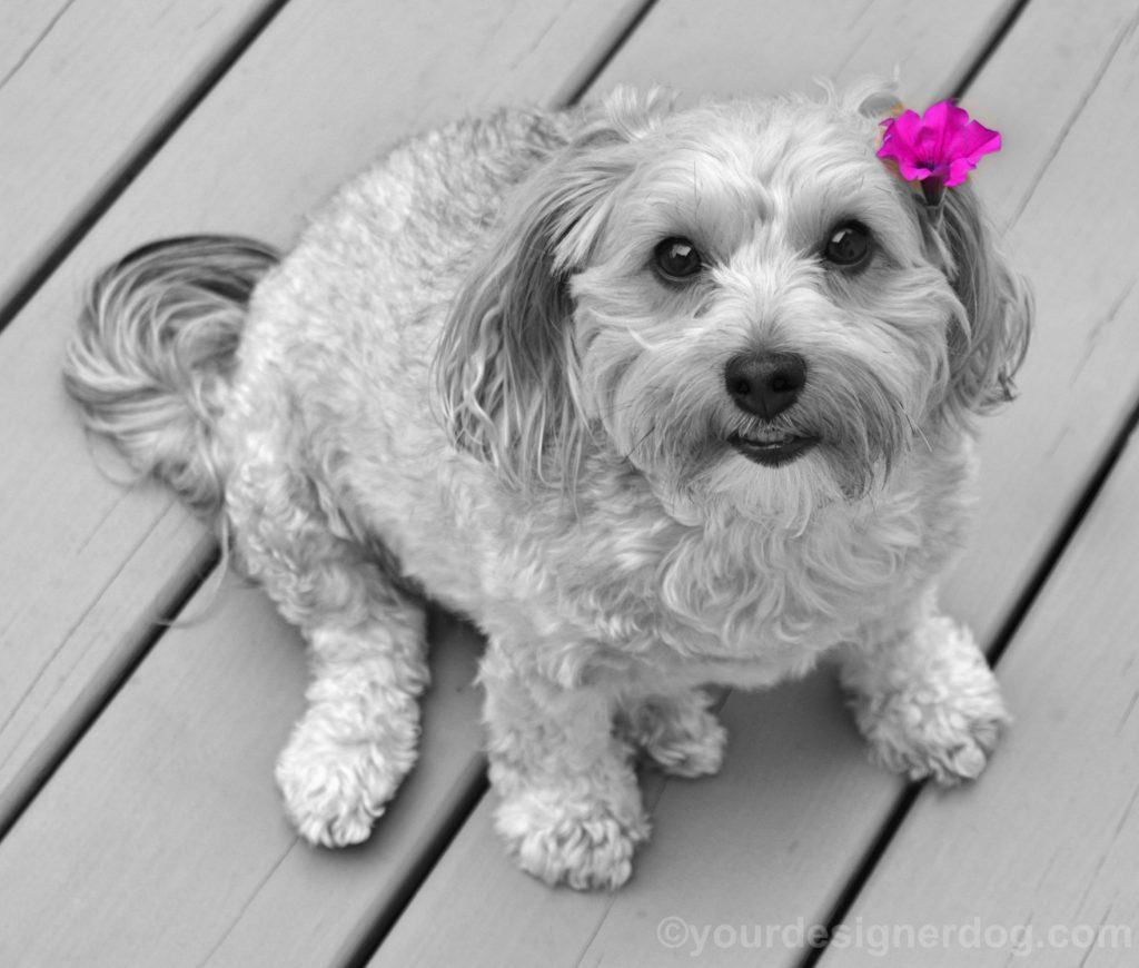 dogs, designer dogs, Yorkipoo, yorkie poo, may day, black and white photography, dog smiling, dogs with flowers, color accent