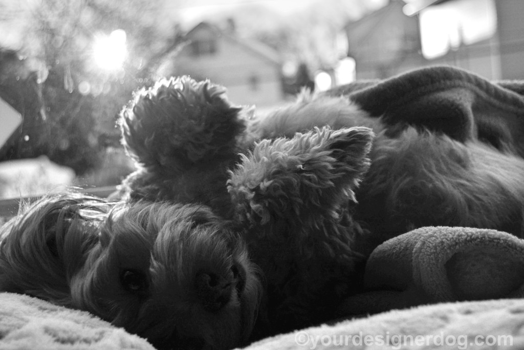 dogs, designer dogs, Yorkipoo, black and white photography, upside down
