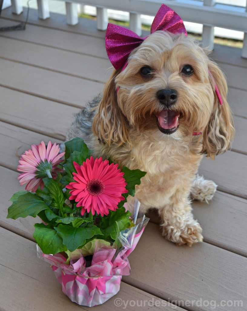dogs, designer dogs, Yorkipoo, yorkie poo, flowers, spring flowers, dogs with flowers, daisy