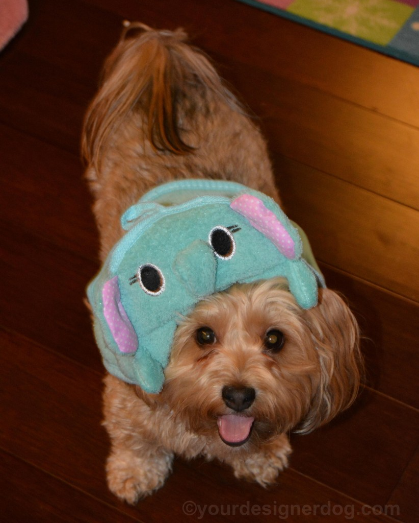 dogs, designer dogs, Yorkipoo, yorkie poo, tongue out, silly puppy, elephant towel