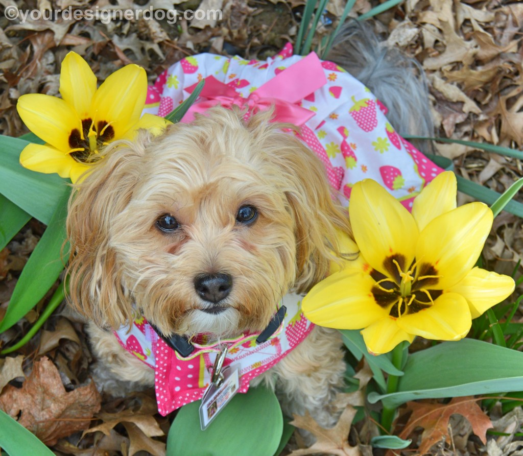 dogs, designer dogs, Yorkipoo, yorkie poo, dogs with flowers, tulips, toxic plants