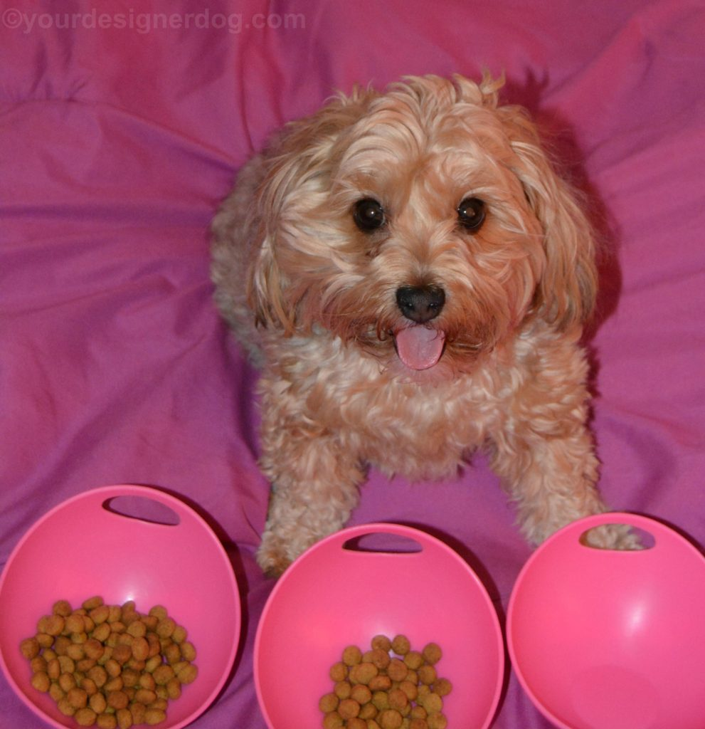 dogs, designer dogs, Yorkipoo, yorkie poo, picky eater, portion control, tongue out, dog smiling, dog food, kibble, dog bowl