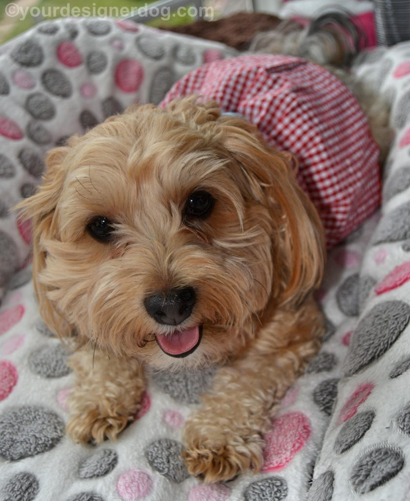 dogs, designer dogs, Yorkipoo, yorkie poo, tongue out, dog dress