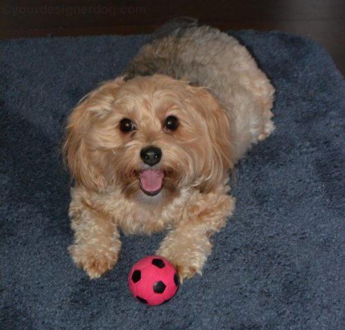 dogs, designer dogs, Yorkipoo, yorkie poo, dog smiling, tongue out, dog toy, squeaky ball