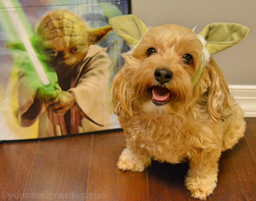 dogs, designer dogs, Yorkipoo, yorkie poo, yoda, star wars day, dog costume