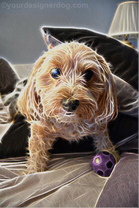 dogs, designer dogs, Yorkipoo, yorkie poo, digital art, pet portrait, sparkle, dog toy, squeaky ball