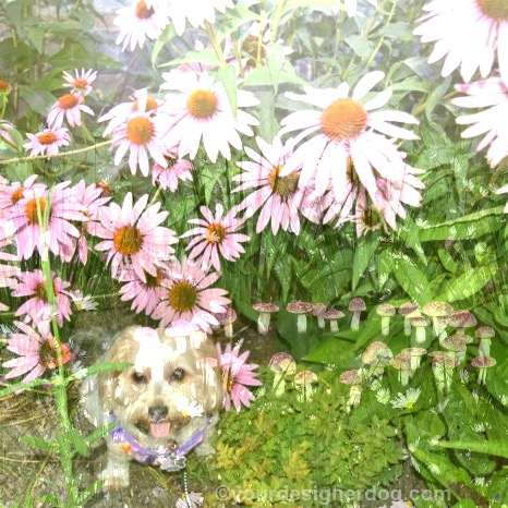 dogs, designer dogs, Yorkipoo, yorkie poo, dogs with flowers, wildflowers, digital art, dog smiling