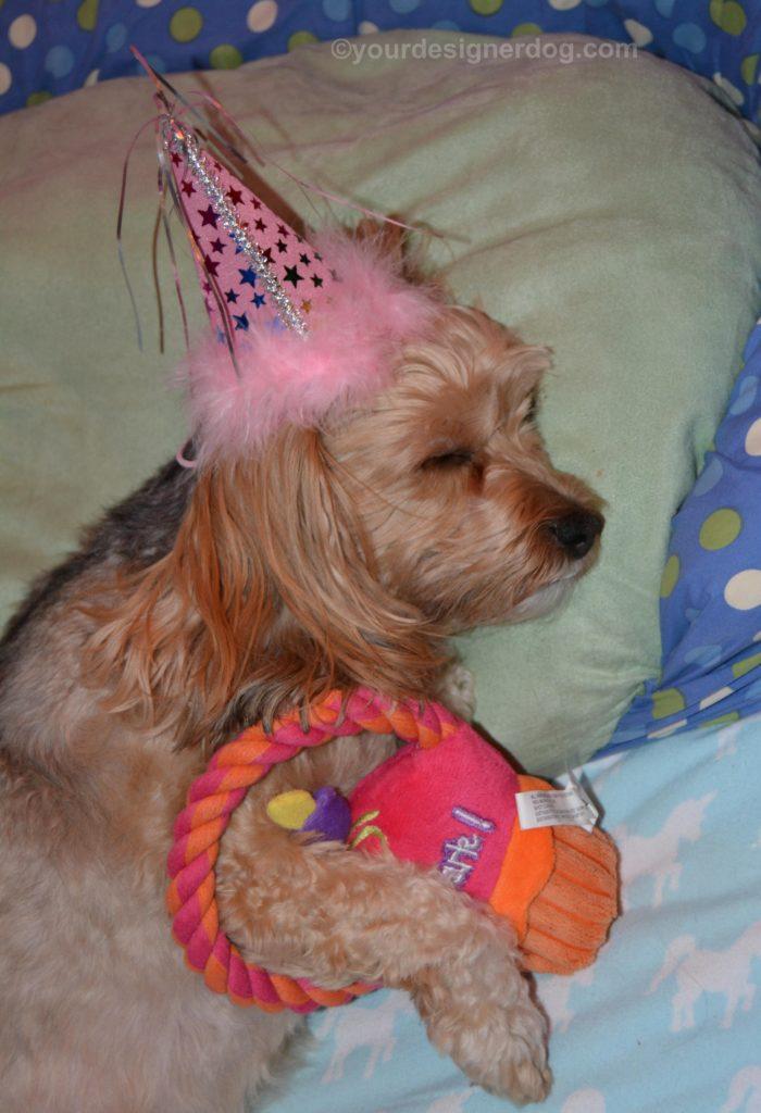 dogs, designer dogs, Yorkipoo, yorkie poo, birthday, sleepy puppy