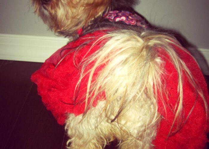 dogs, designer dogs, Yorkipoo, yorkie poo, dog butt, dog dress, tutu, tail