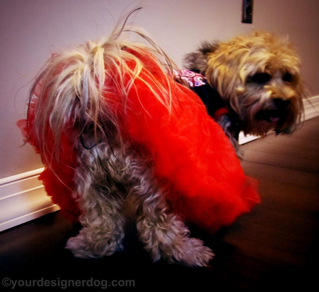 dogs, designer dogs, Yorkipoo, yorkie poo, dog butt, dog dress, tutu, tail