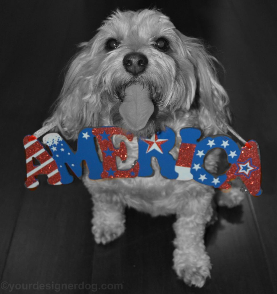dogs, designer dogs, Yorkipoo, yorkie poo, america, tongue out, patriotic, black and white photography