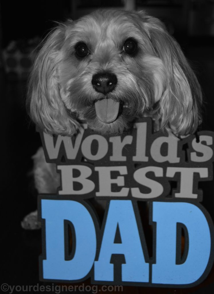 dogs, designer dogs, Yorkipoo, yorkie poo, dad, father's day, black and white photography, tongue out