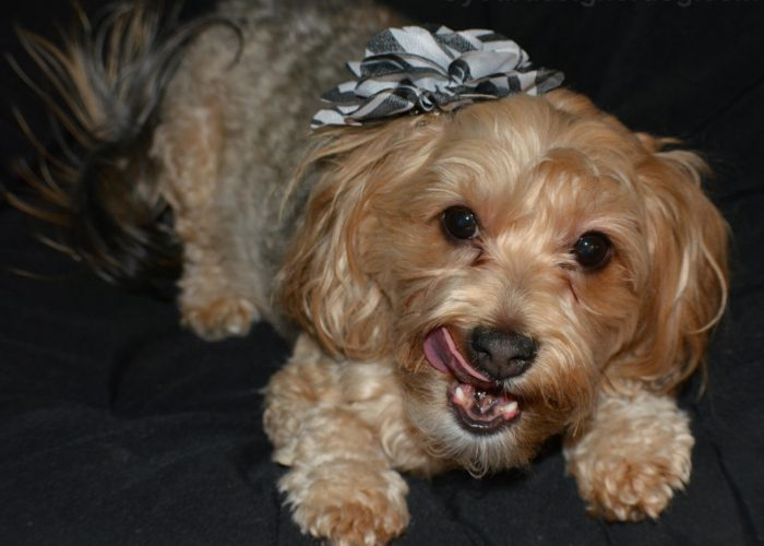 dogs, designer dogs, Yorkipoo, yorkie poo, tongue out, bloopers, outtakes, zebra flower, hair clip
