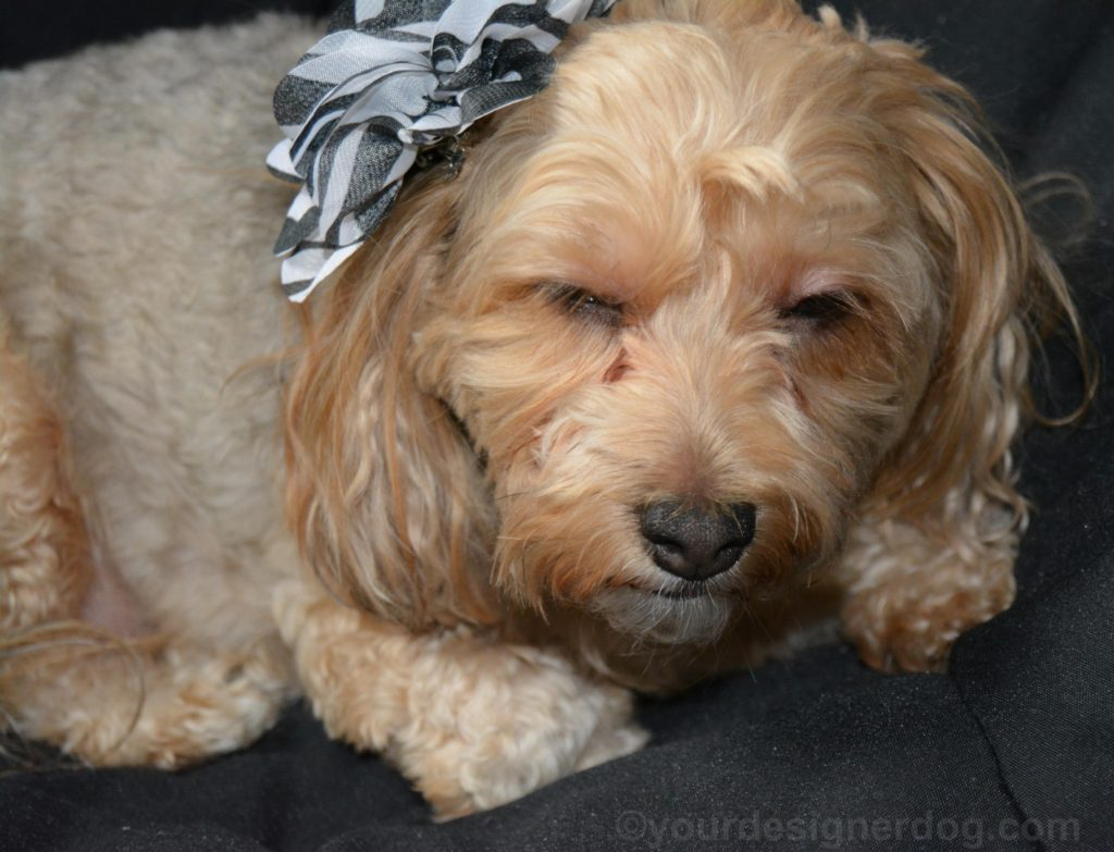 dogs, designer dogs, Yorkipoo, yorkie poo, bloopers, outtakes, zebra flower, hair clip