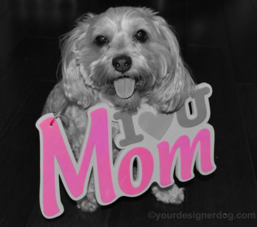 dogs, designer dogs, Yorkipoo, yorkie poo, black and white photography, mom, mother's day