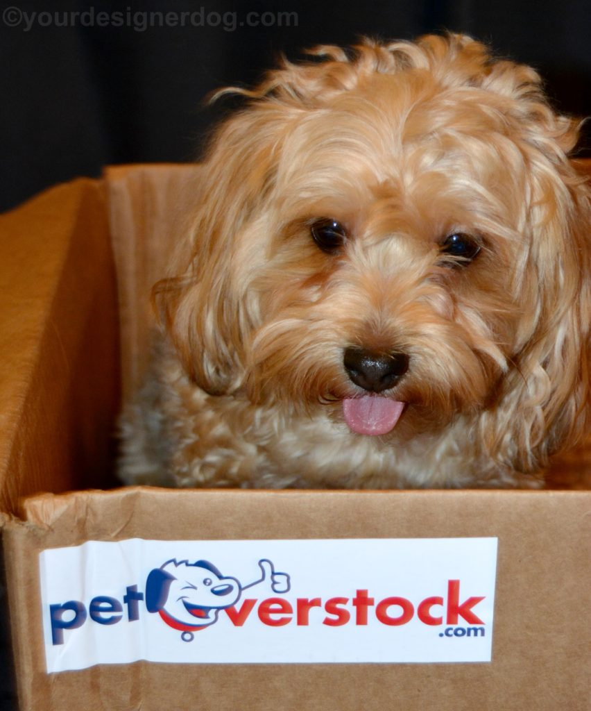 dogs, designer dogs, Yorkipoo, yorkie poo, cardboard box, tongue out, petoverstock.com