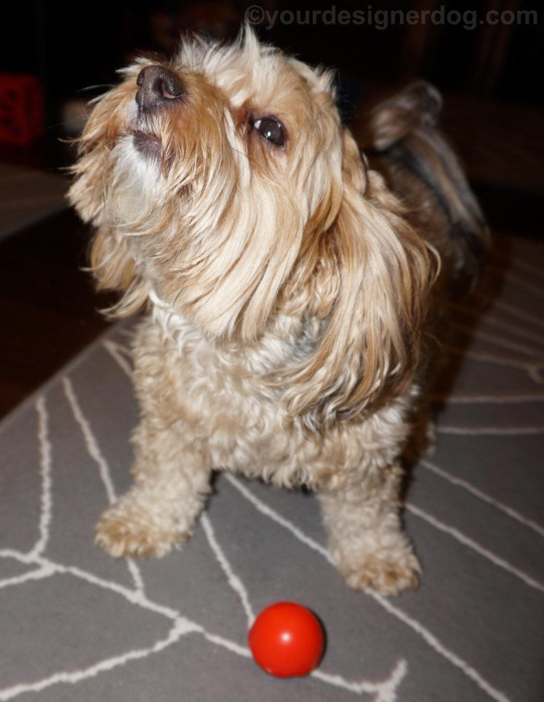 dogs, designer dogs, Yorkipoo, yorkie poo, Red Nose Day, clown nose, tongue out