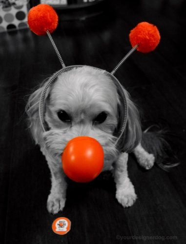 dogs, designer dogs, Yorkipoo, yorkie poo, Red Nose Day, black and white photography