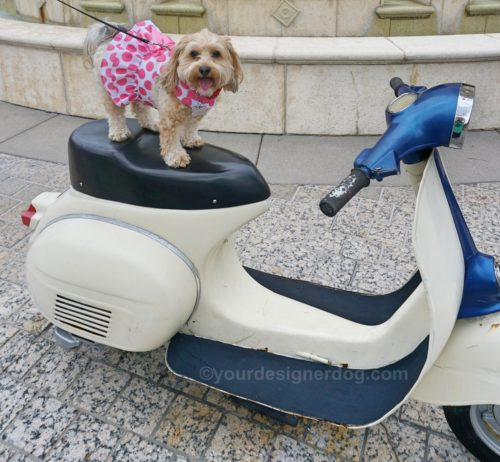 dogs, designer dogs, Yorkipoo, yorkie poo, scooter, travel, tongue out