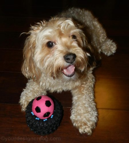 dogs, designer dogs, Yorkipoo, yokie poo, dog toy, squeaky ball, tire toy, petoverstock.com