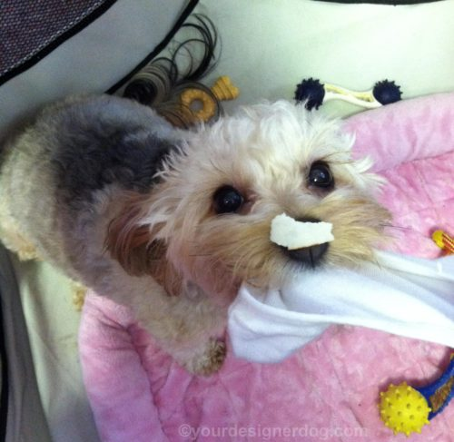 dogs, designer dogs, Yorkipoo, yorkie poo, trouble, mischief, tug of war, sock
