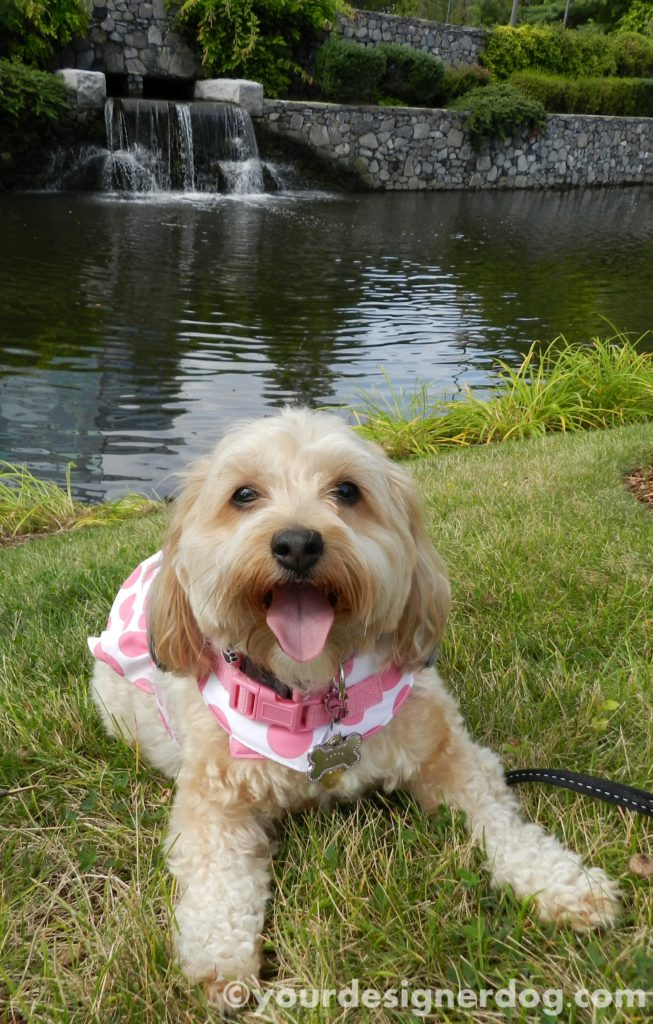 dogs, designer dogs, Yorkipoo, yorkie poo, water, waterfall, tongue out