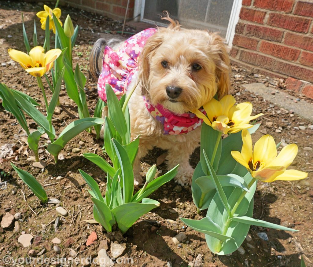 dogs, designer dogs, Yorkipoo, yorkie poo, spring flowers, tulips, dogs with flowers