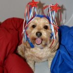 dogs, designer dogs, Yorkipoo, yorkie poo, american, patriotic, dog smiling, tongue out