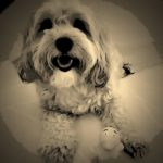 dogs, designer dogs, Yorkipoo, yorkie poo, digital art, sepia photography, pet portrait, rubber ducky