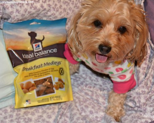 dogs, designer dogs, Yorkipoo, yorkie poo, pajamas, breakfast in bed, hill's breakfast medleys