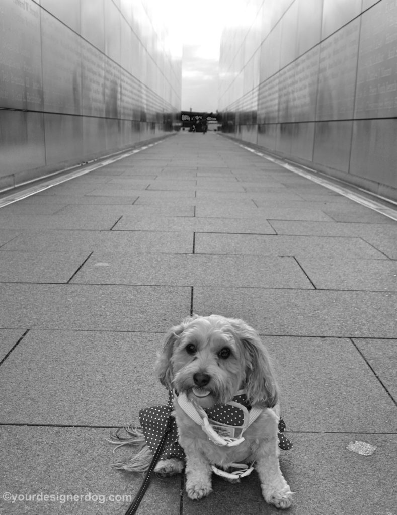 dogs, designer dogs, Yorkipoo, yorkie poo, black and white photography, september 11th memorial