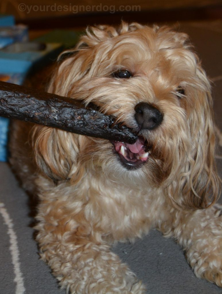 dogs, designer dogs, Yorkipoo, yorkie poo, dog treat, dog chew, elk