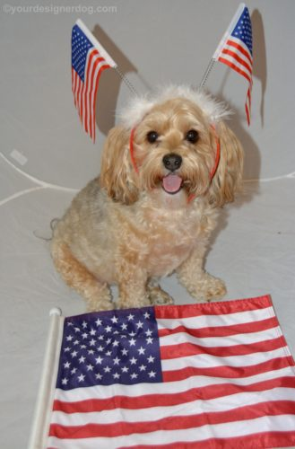 dogs, designer dogs, Yorkipoo, yorkie poo, flag, tongue out, america