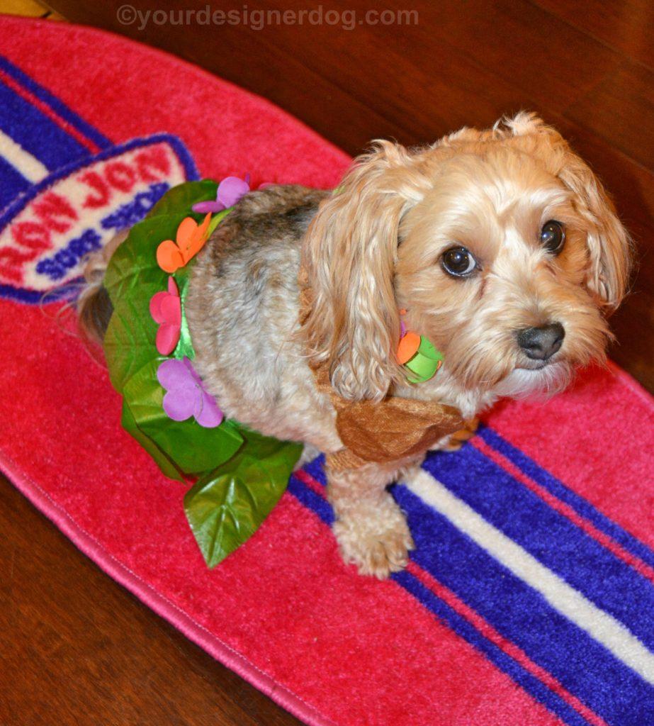 dogs, designer dogs, Yorkipoo, yorkie poo, hula, luau, Hawaiian