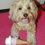 dogs, designer dogs, Yorkipoo, yorkie poo, ice cream, summer, dog toy, squeaky toy
