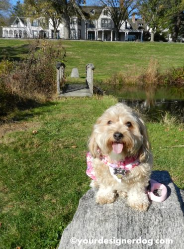 dogs, designer dogs, Yorkipoo, yorkie poo, tongue out, dog smiling, manor house, estate, garden