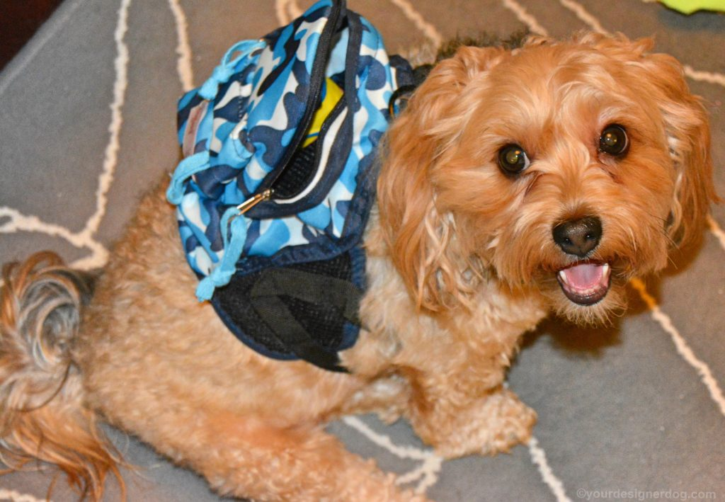 dogs, designer dogs, Yorkipoo, yorkie poo, dog backpack