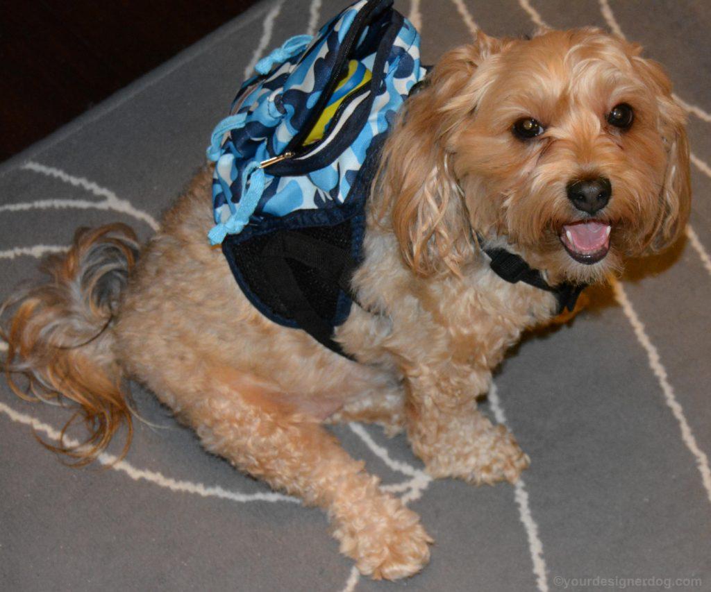 dogs, designer dogs, Yorkipoo, yorkie poo, dog backpack